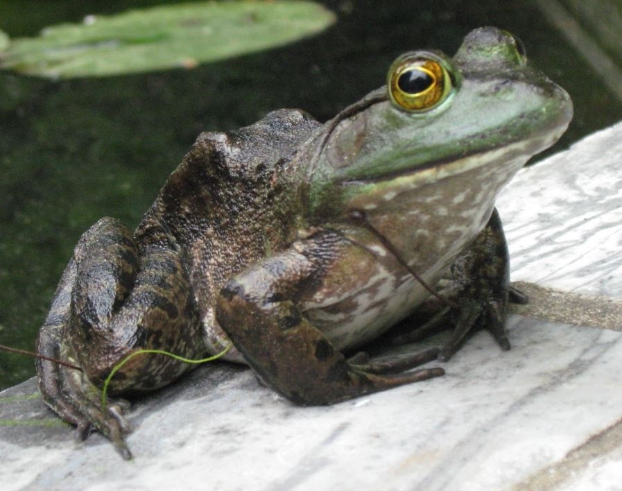 Frog flipped and cropped.jpg